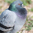 Common pigeon — Stock Photo