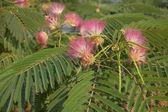 Acacia silk — Stock Photo