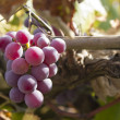 Cluster of grapes — Stock Photo