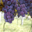 Vineyard grapes — Stock Photo