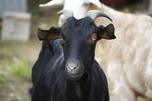 Black goat — Stockfoto