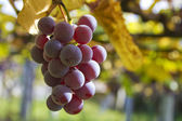 Bunch of grapes in the vineyard — Stock Photo