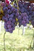 Uvas de vinhedo — Fotografia Stock