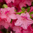 Pink flowers — Stock Photo #21941919
