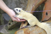 Yellow squirrel on a chain touch human hand. — Stock Photo