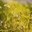 Stock Photo: Spikelets