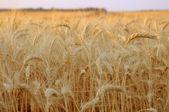 黄金の wheat09 — ストック写真