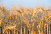 Golden wheat06 — Stock Photo