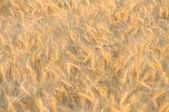 Golden wheat05 — Stock Photo