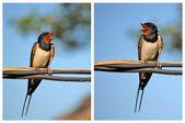 Swallows — Stock Photo