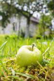 Wet green - yellow apple lying in green grass near tree in garde — Stock Photo