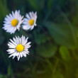 Small daisies in grass in garden — Stockfoto #12554174