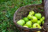 Yeşil elma sepeti çimenlerin üzerinde — Stok fotoğraf
