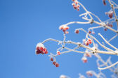 Viburnum branch on blue sky background — Stock Photo