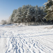 Stock Photo: Pines on snowy field