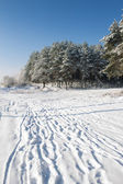 Pines on snowy field — Stock Photo