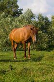 Brown horse — Stock Photo