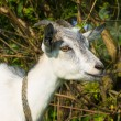 Nanny goat smiling — Stock Photo