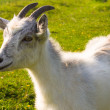Small nanny goat - Stock Photo