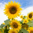 Stock Photo: Sunflowers on cloudy sky background