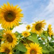 Yellow sunflowers on blue and white cloudy sky background — Stock Photo