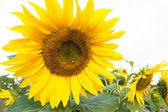 Geïsoleerde zonnebloem bush — Stockfoto