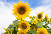 Sunflowers on cloudy sky background — Stock Photo