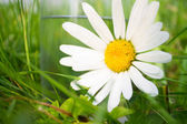 White daisy near glass of water in green grass — Stock Photo