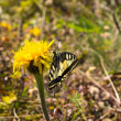 Butterfly on yellow dandelion — Stock Photo