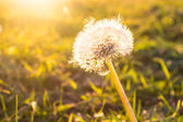 Dandelion in sunlight — Stock Photo