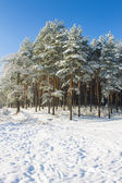 Snow in pinetrees forest — Stock Photo