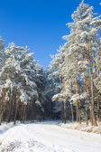 Pinetrees forest — Stock Photo