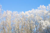 Snowy forest background — Stock Photo