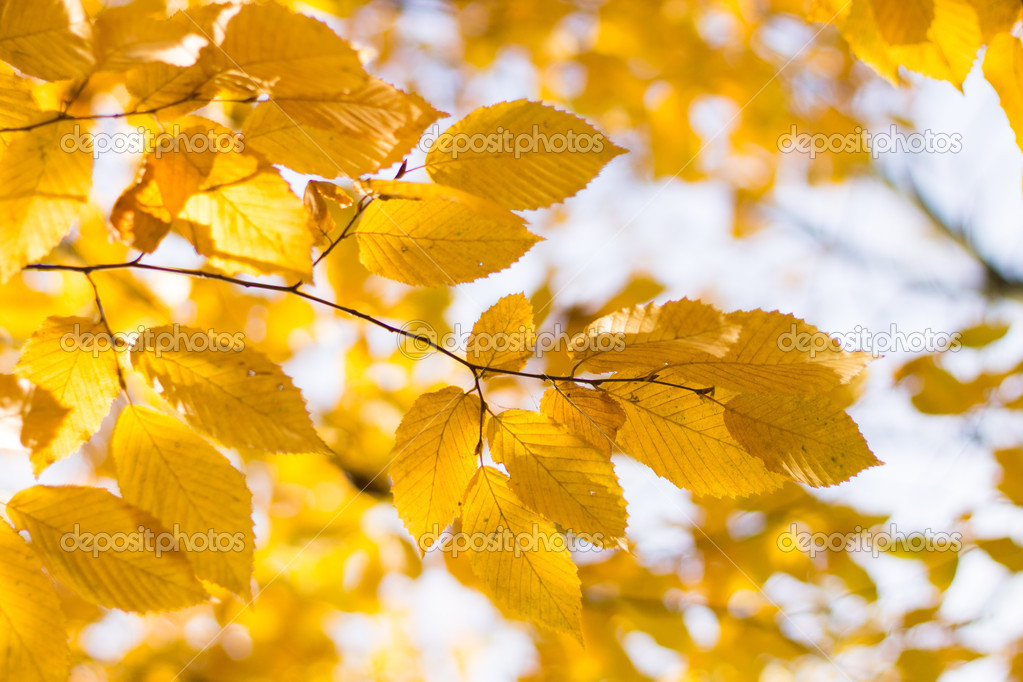 背景 壁纸 绿色 绿叶 树叶 银杏 银杏树 银杏叶 植物 桌面 1023_682