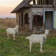 Stock Photo: White goats in village near old house