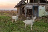 古い家の近くの村の白ヤギ — ストック写真