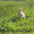 Rabit running — Stock Photo #37443073