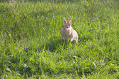 Rabit running — Stock Photo