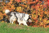 Sheltie dog breed in the autumn park. harlequin — Stock Photo