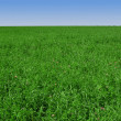 Clover-and-grass-field-expanding-till-light-blue-horizon — Stock Photo