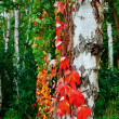White-birch-trunk-covered-with-red-leaves-of-wild-grapes-selecti — Stock Photo #13871078