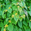 Leaves-of-cucumber-plant-with-yellow-flowers-and-tendrils-cover- — 图库照片 #13871538