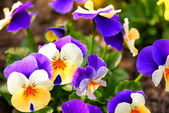 Closeup-of-pansy-flowers-shallow-depth-of-field — Stock Photo