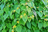 Leaves-of-cucumber-plant-with-yellow-flowers-and-tendrils-cover- — Stock Photo