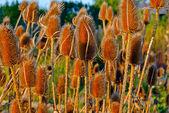 Field-of-dry-thistle-flowers-in-golden-sunset-light-Teasel-Dipsa — Stock Photo