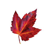 Autumn-red-leaf-of-maple-Acer-monspessulanum-isolated-on-white — Stock Photo
