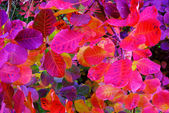 Bush-with-multicolored-autumn-leaves-close-up-selective-focus — Stock Photo