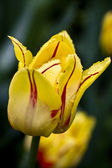 Yellow tulip — Stock Photo