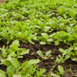 Fresh radish seedlings — Stock Photo