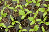 Peppers seedlings — Stock Photo